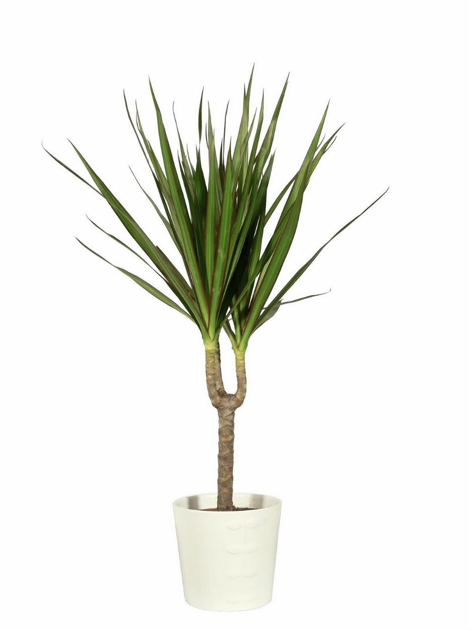 Chamédorée ou palmier nain doré